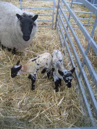 Sheep20090411hS